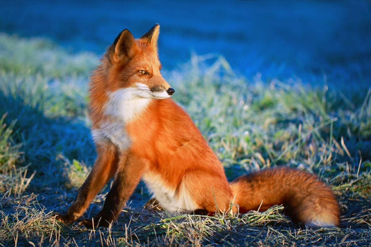 Картинки, картинки лисы