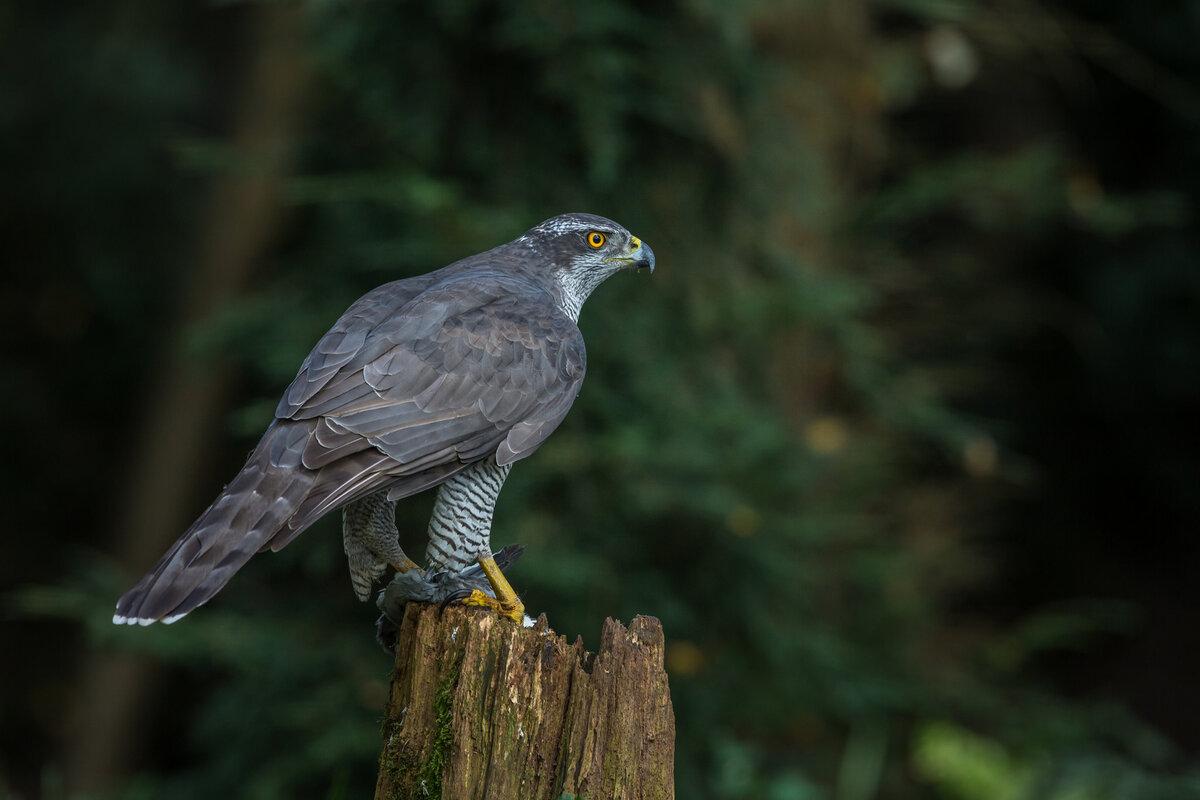 хищные птицы владимирской области фото с названиями