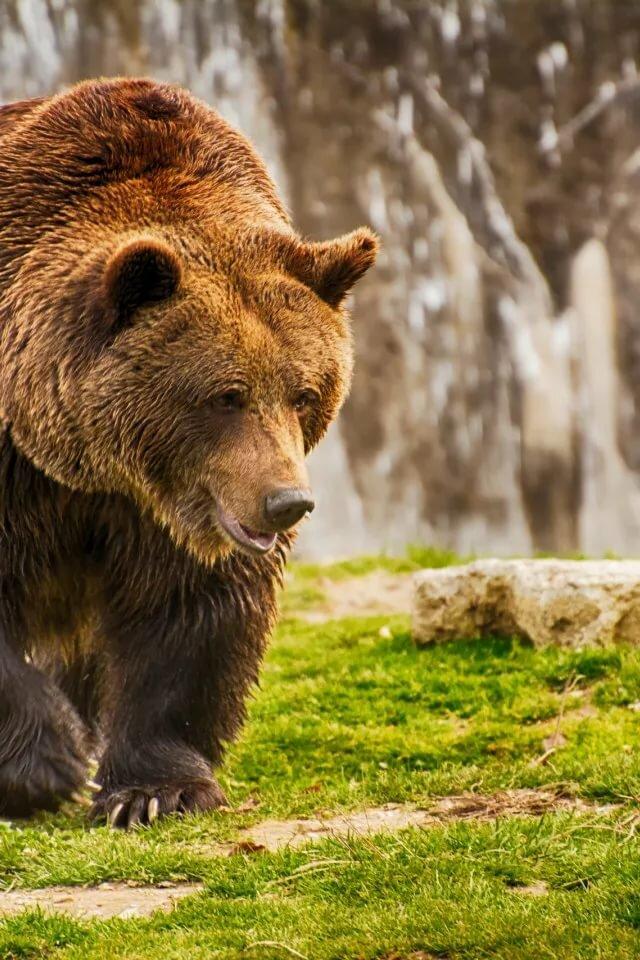 показатели идущий медведь фото числе таких