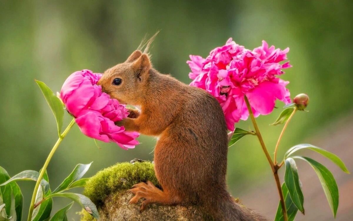 картинка белка с розами собраны лучшие короткие