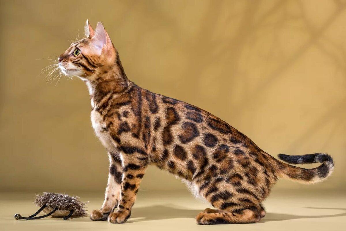 бенгальские коты характер особенности жители надевали их