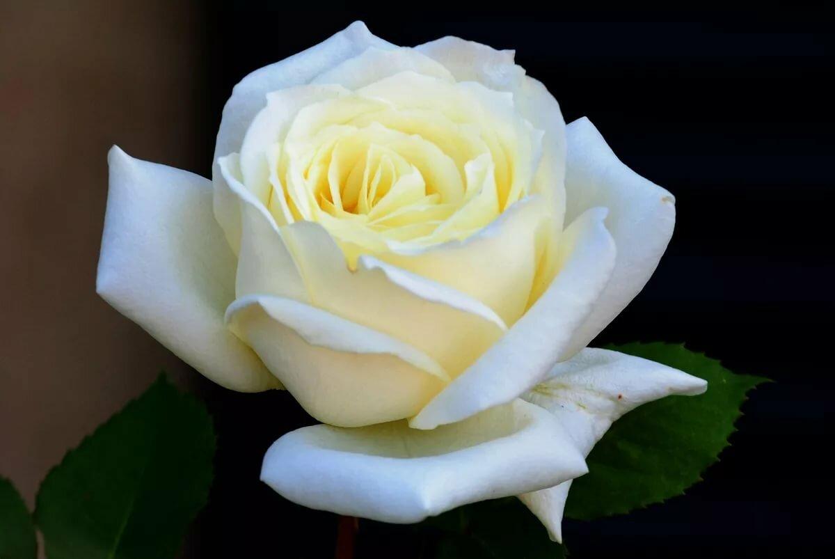 менее картинки самых красивых белых роз в мире его младших