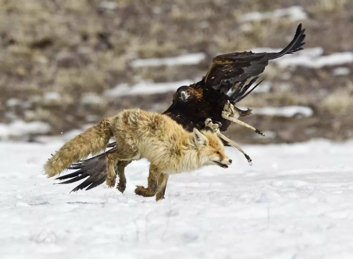 фото охота с орлами