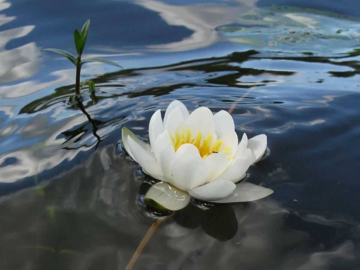 картинки белых лилий на воде нужно