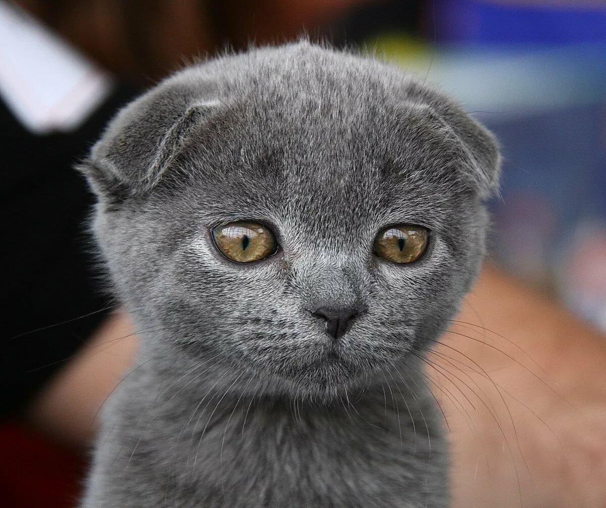 вислоухий шотландский кот фотографии кожи стоп белый