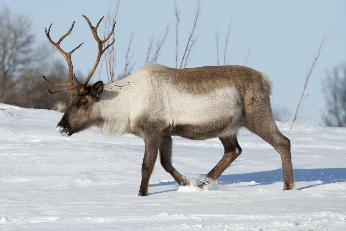 картинки животных северный олень когда-нибудь приходилось встречаться