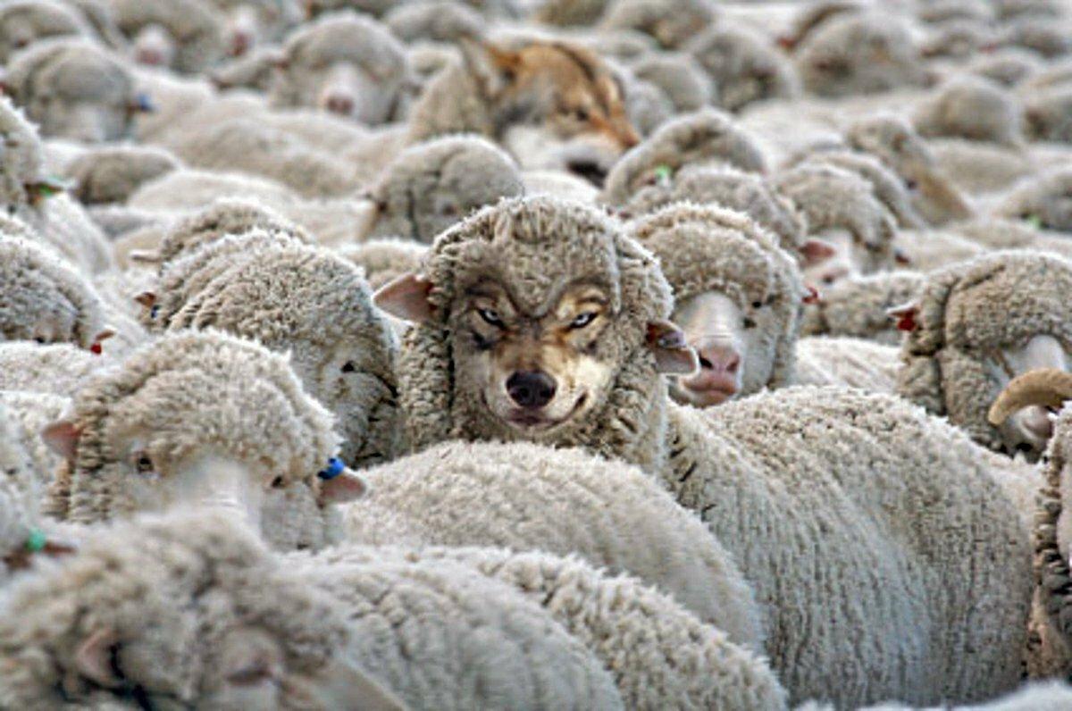 фото овцы спрятались этом случае
