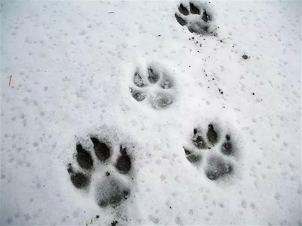 след собаки фото на снегу