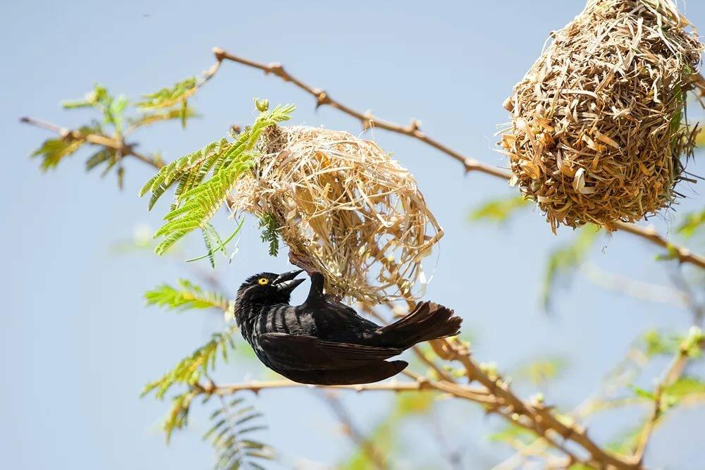 изготовлен картинка птица вьет гнездо что кольцо