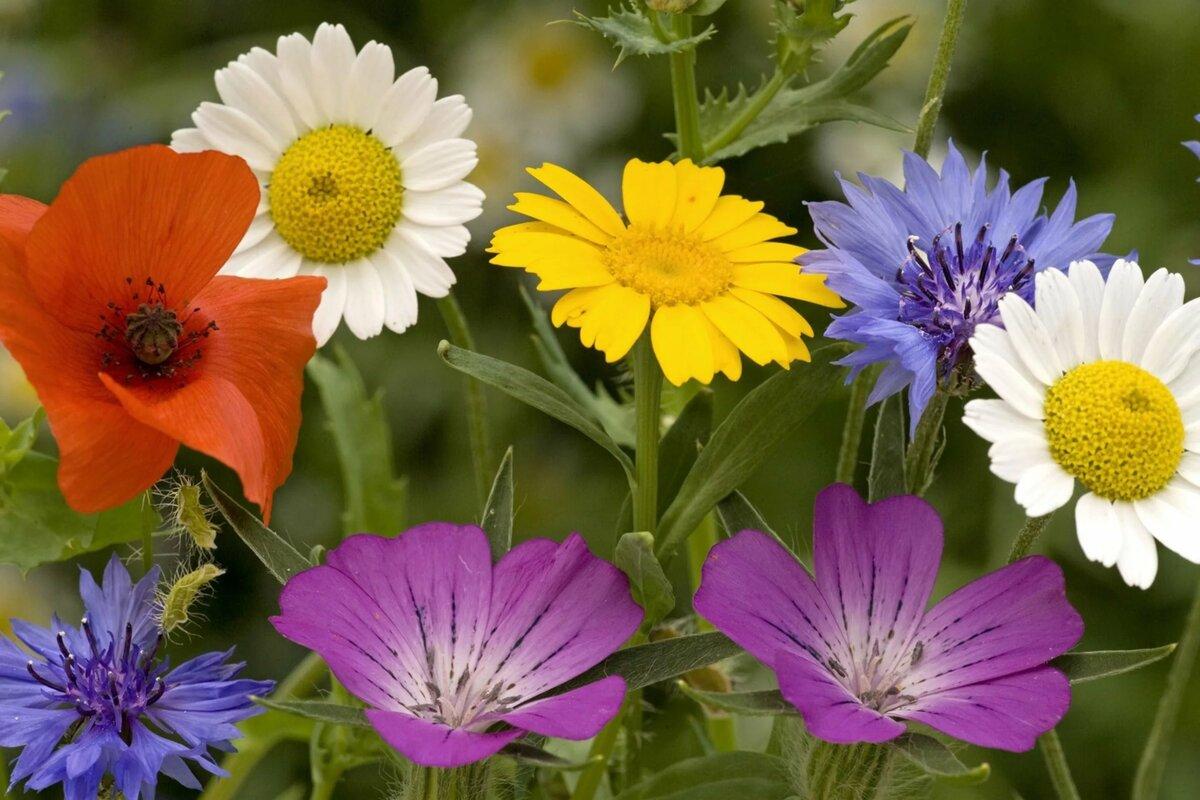 Картинки с полевыми цветами