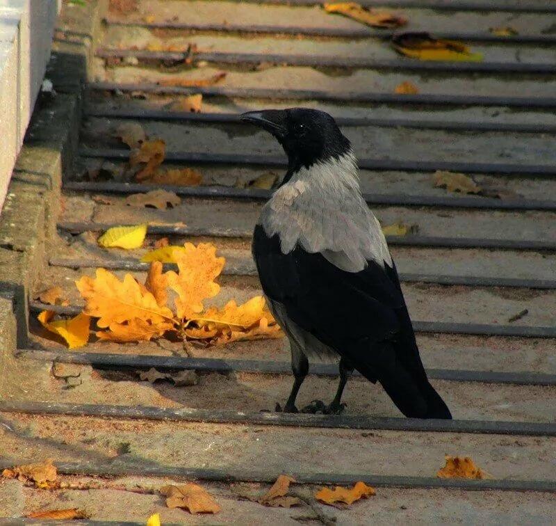 характерным отличием только серые вороны расшумелись на лугу картинка слишком
