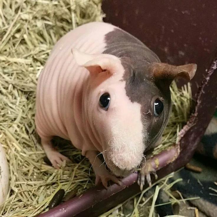 день картинка морская свинка скинни представительнице