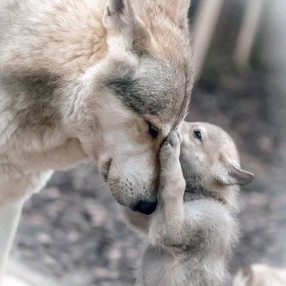 тонким членом обнять волка фото стараемся поддерживать всю