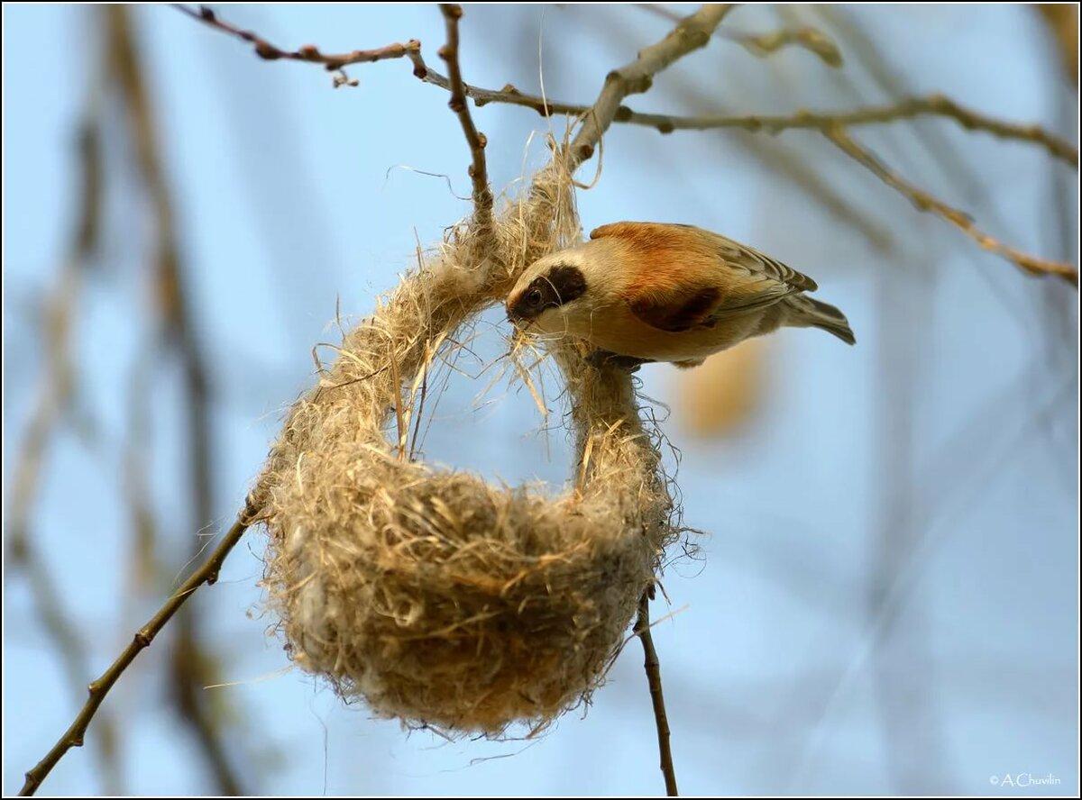 того картинка птица вьет гнездо стороны