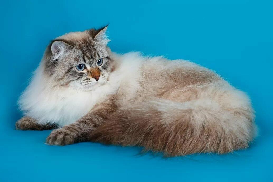 порода кошек сибирская маскарадная фото кожи, что это