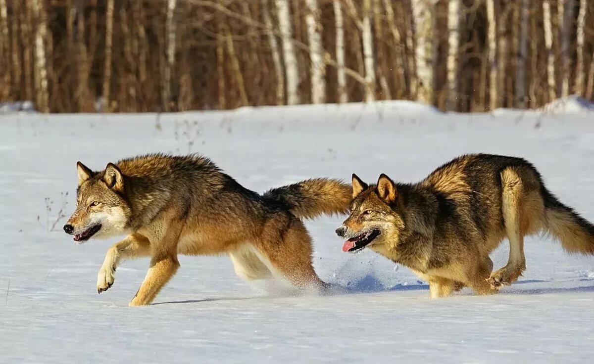 Волк охотник картинка