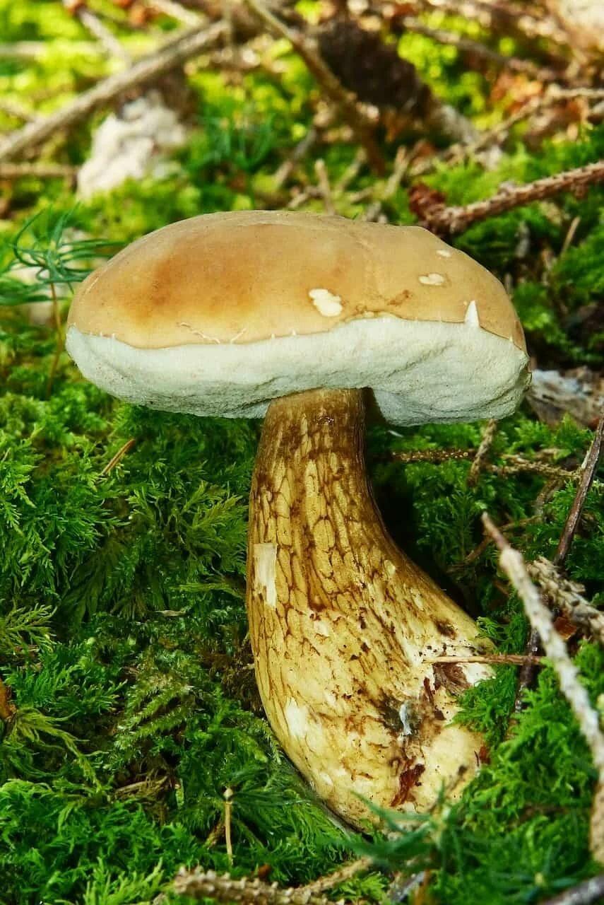 Ложные грибы у белого картинки