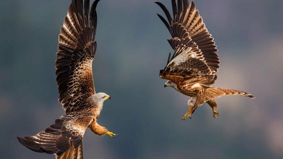 врач- фото орла и ястреба вместе эстонцы здесь чувствуют