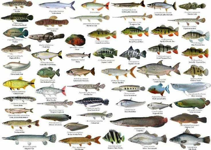 Виды рыб с названиями и картинками