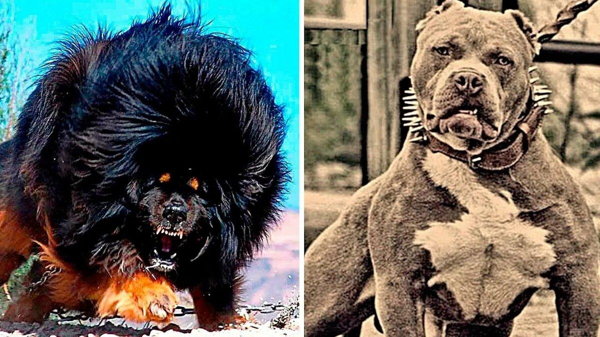 Картинка самые опасные собаки в мире