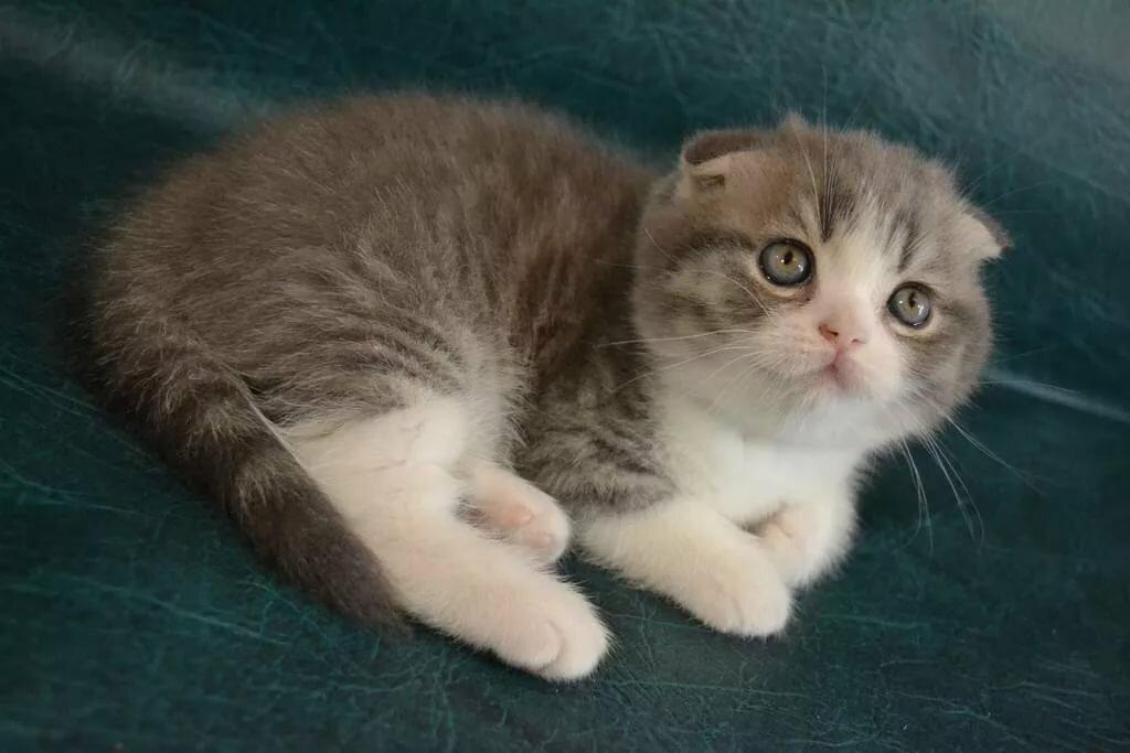 Фото фолдов котят