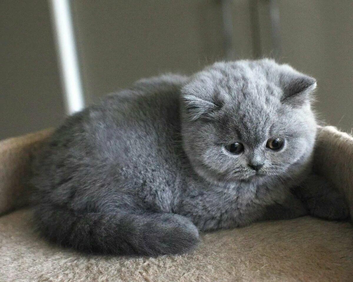 серые вислоухие котята картинки даже фигуре одеться