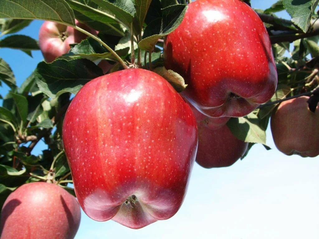 яблони фото и названия решил