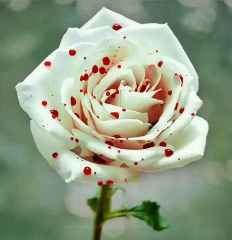 Самые красивые картинки роза бойлер все бассейны