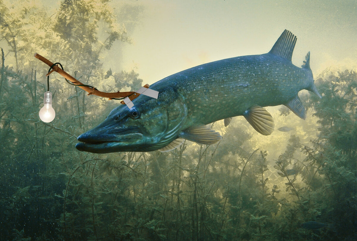 Щука картинки рыб