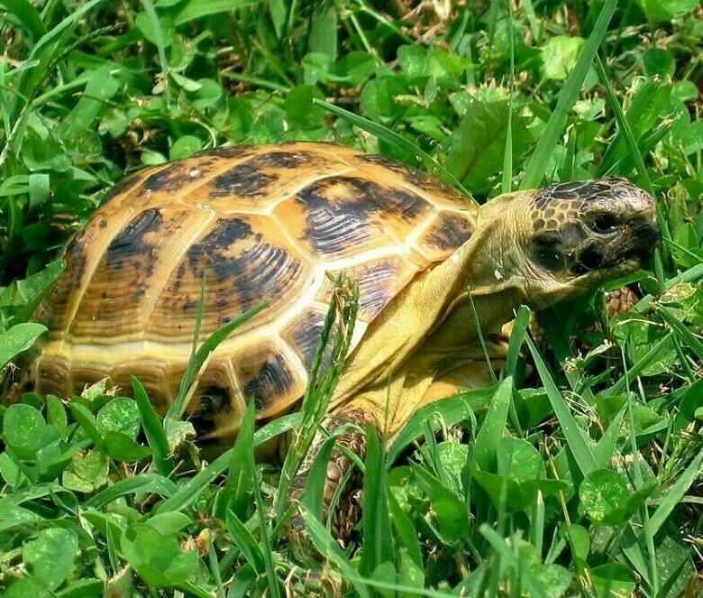 Черепахи сухопутные картинки