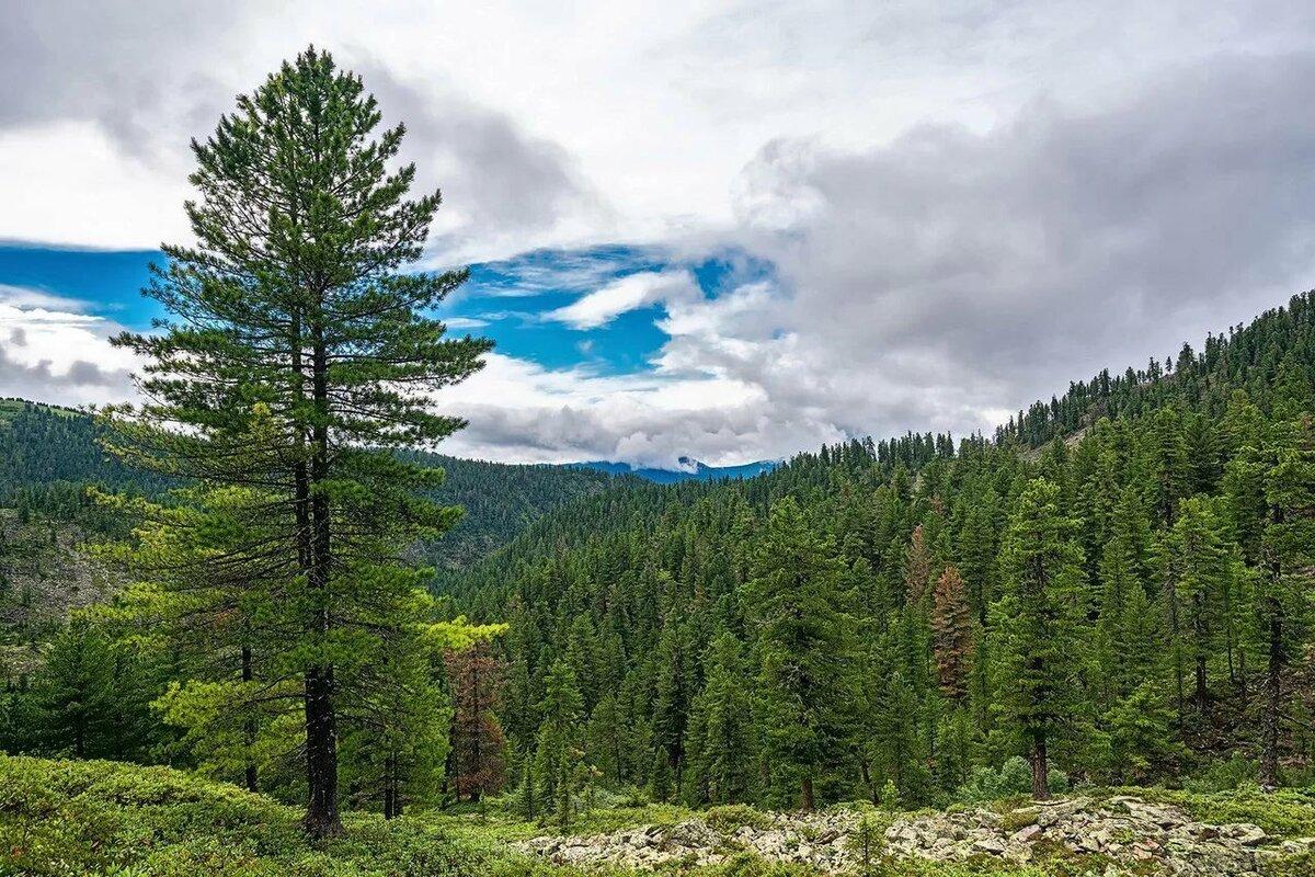 леса бурятии картинки