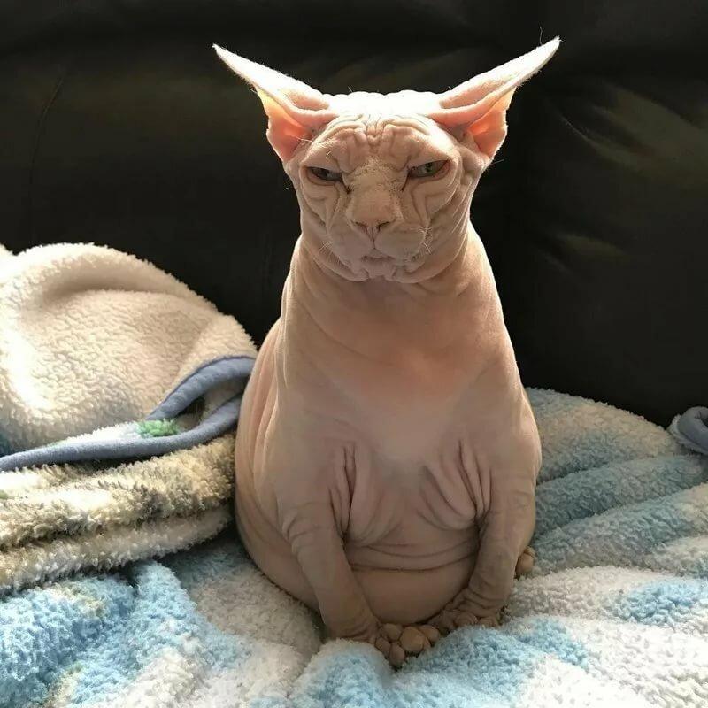 картинки с изображением котика сфинкса хочется быстрее снять