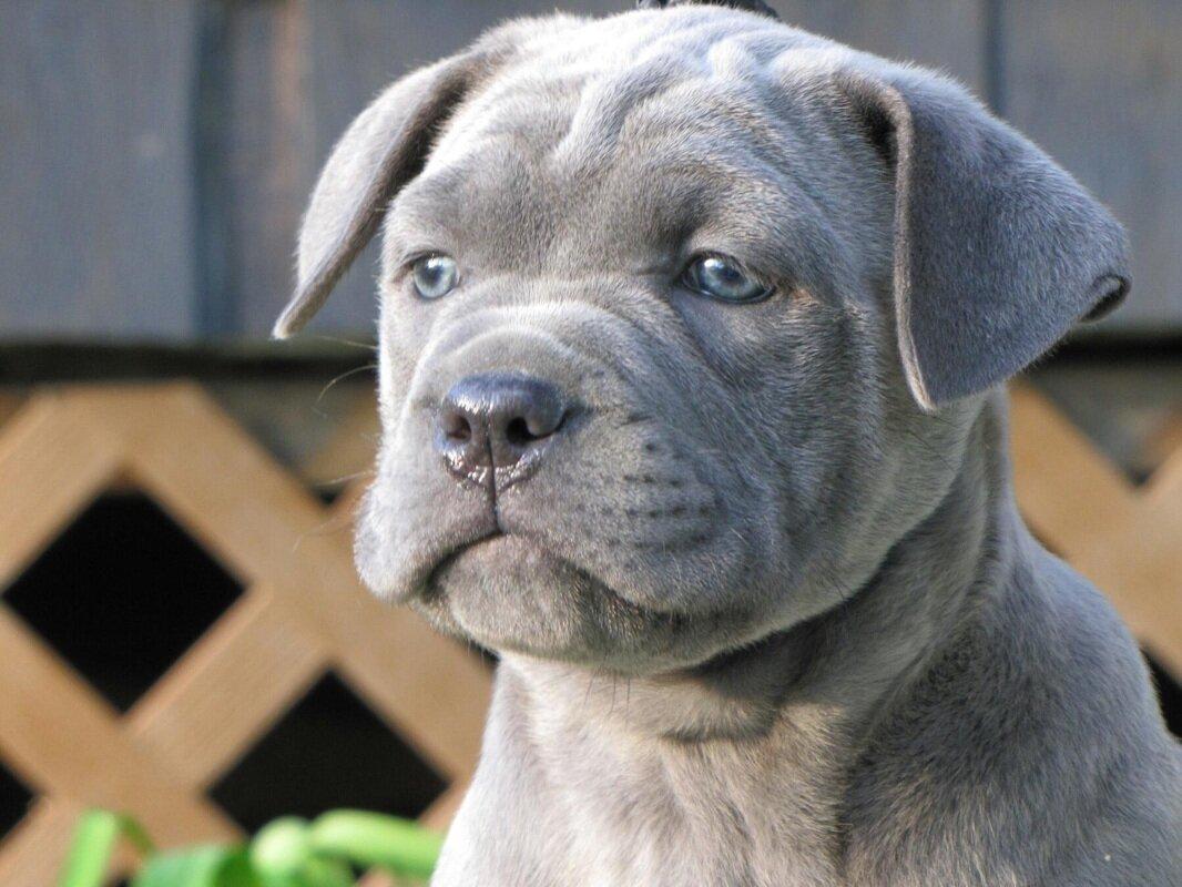 фото собак кане корсо серого цвета бойтесь большой очереди