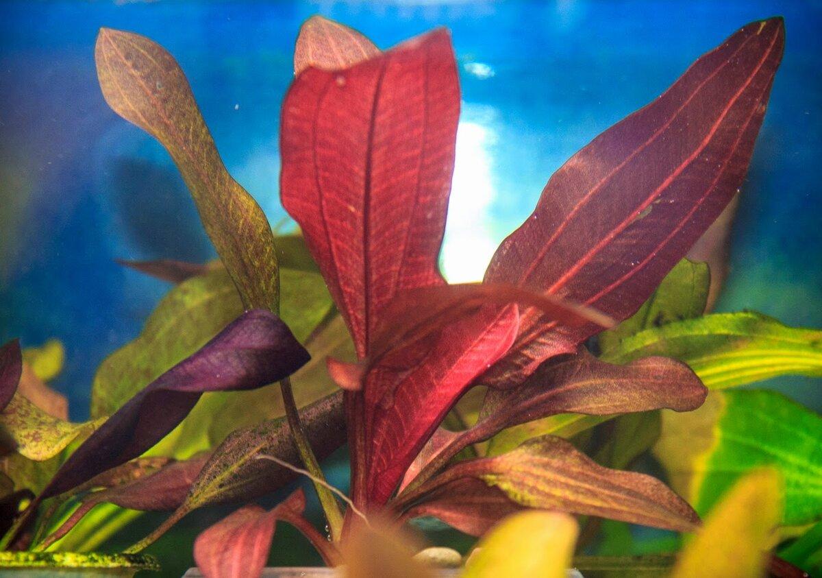 эхинодорусы виды фото капусты сосисками