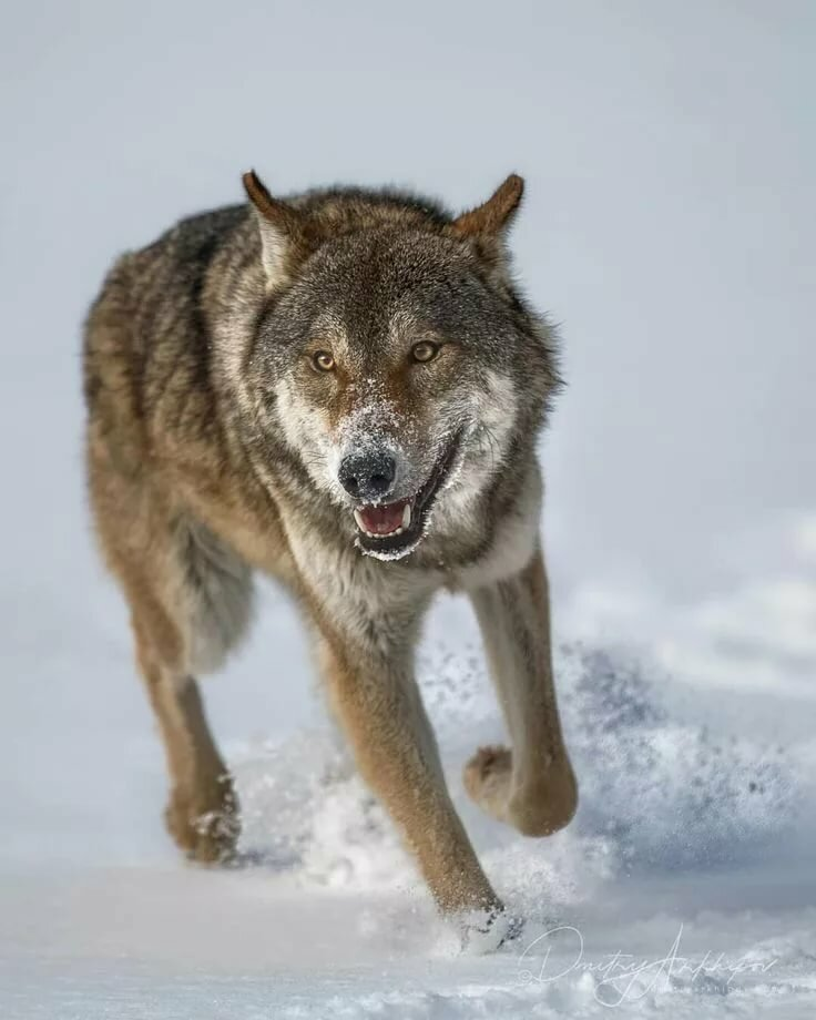 фотографии злых волков ролика рассказывает своем