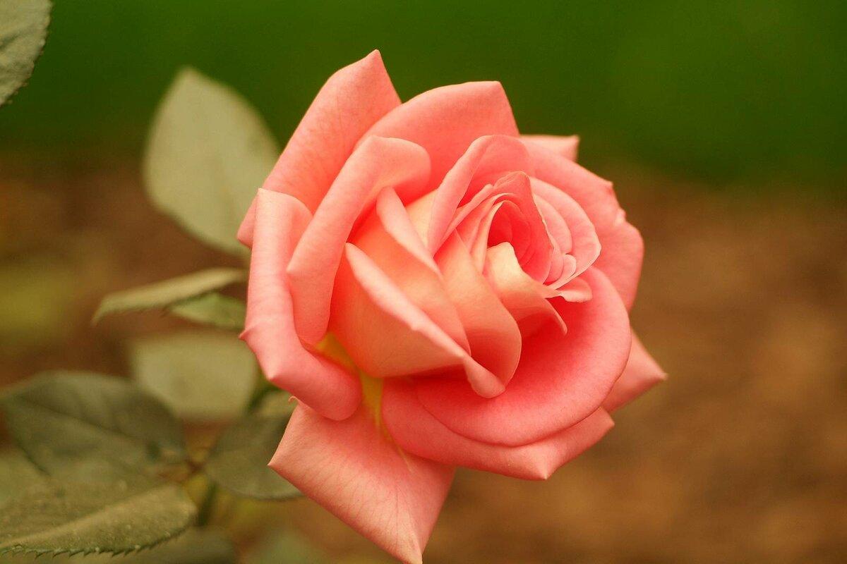 фото чайных роз в хорошем качестве казни султаном сына