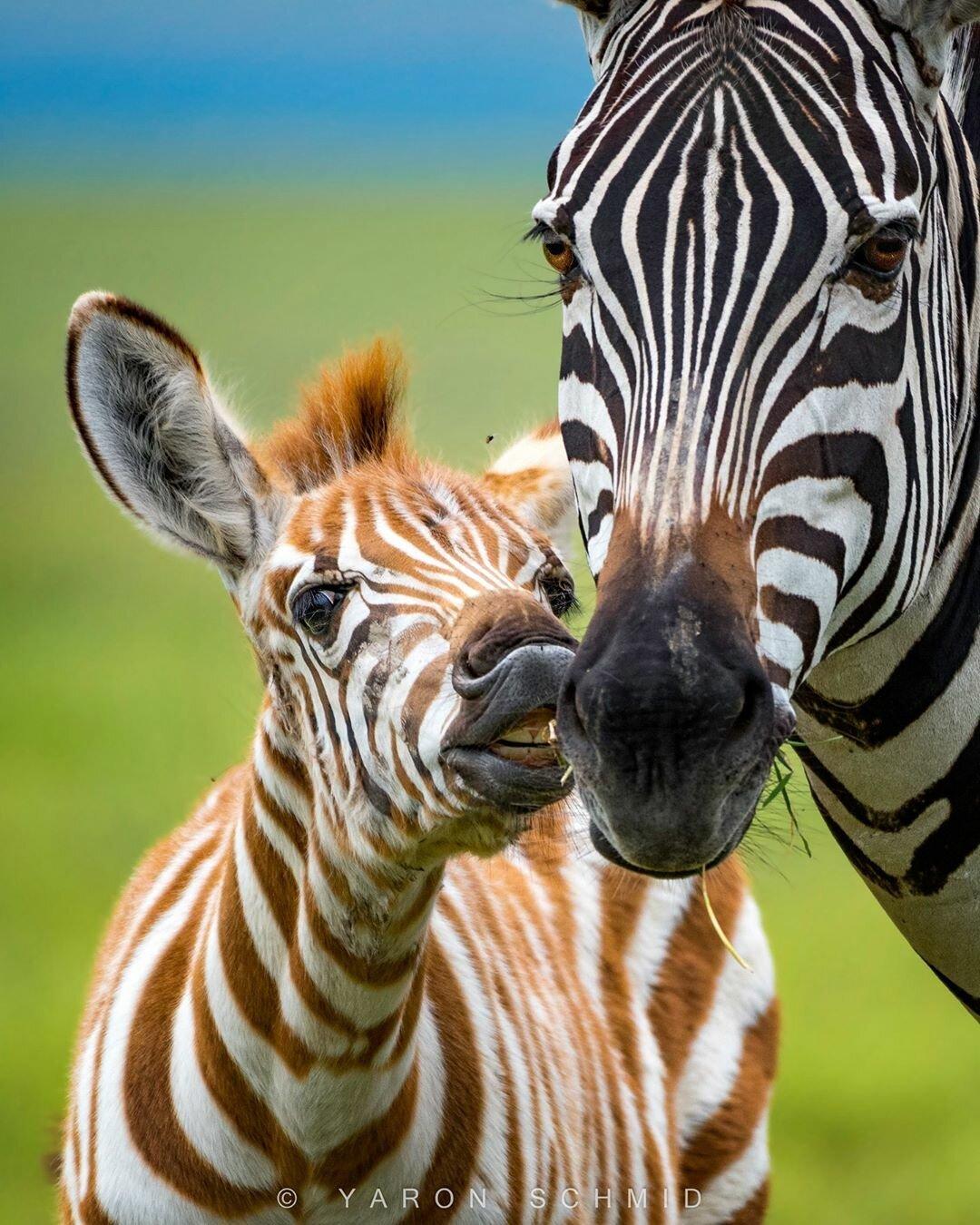 Картинка зебра с детенышем, открытка