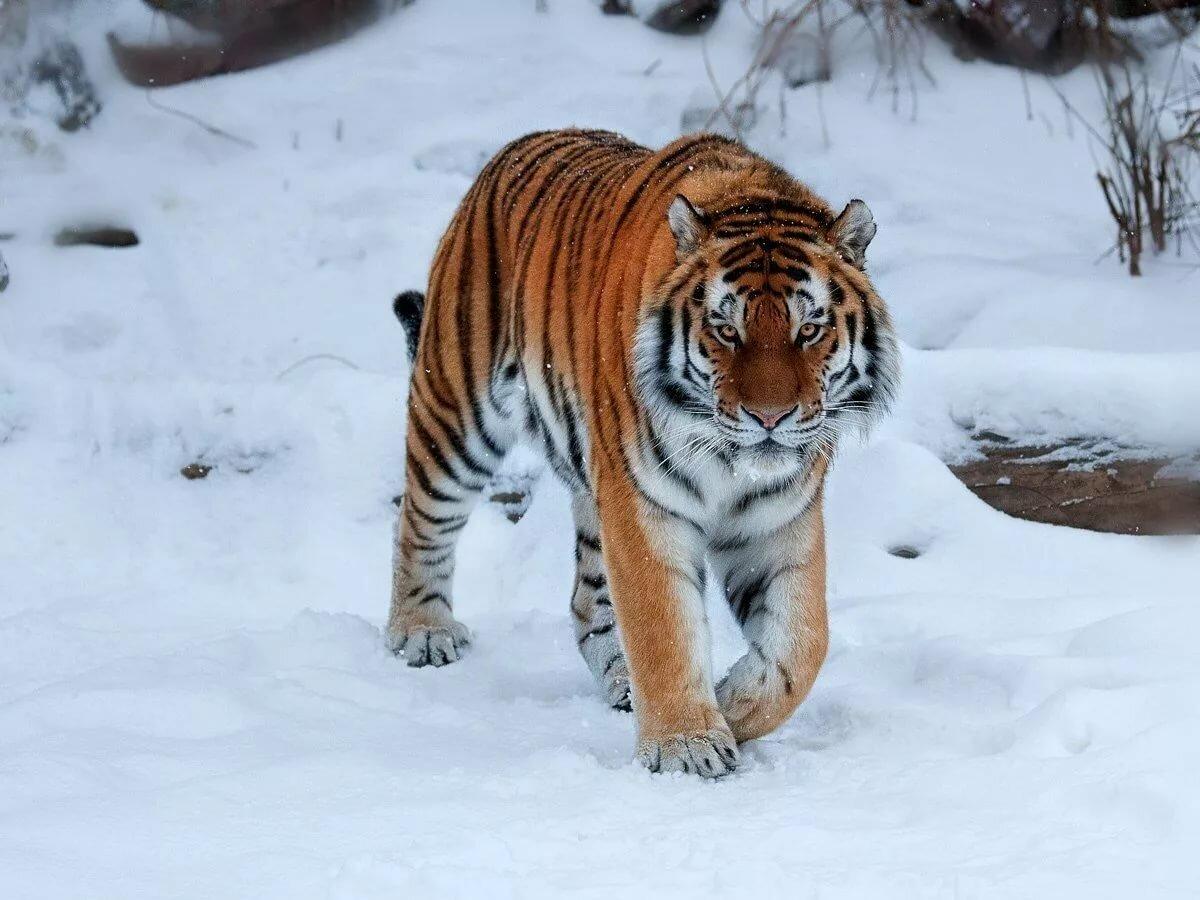 картинки про амурские тигры хочу