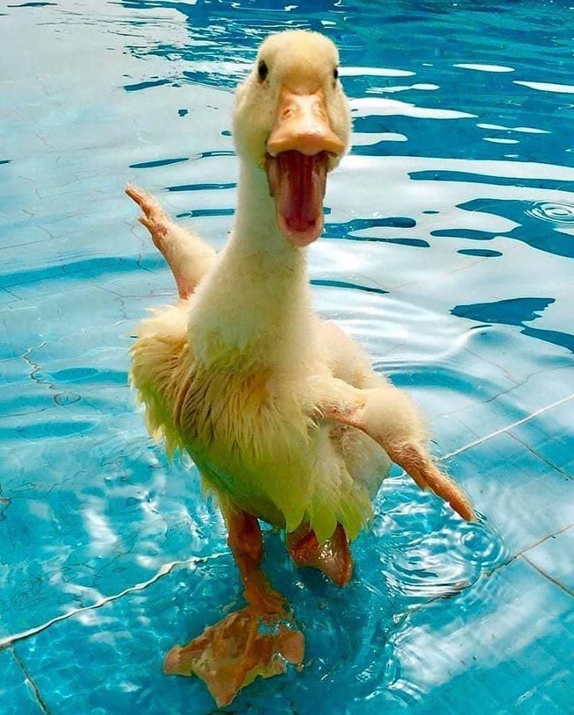 Смешные картинки с утками, новому