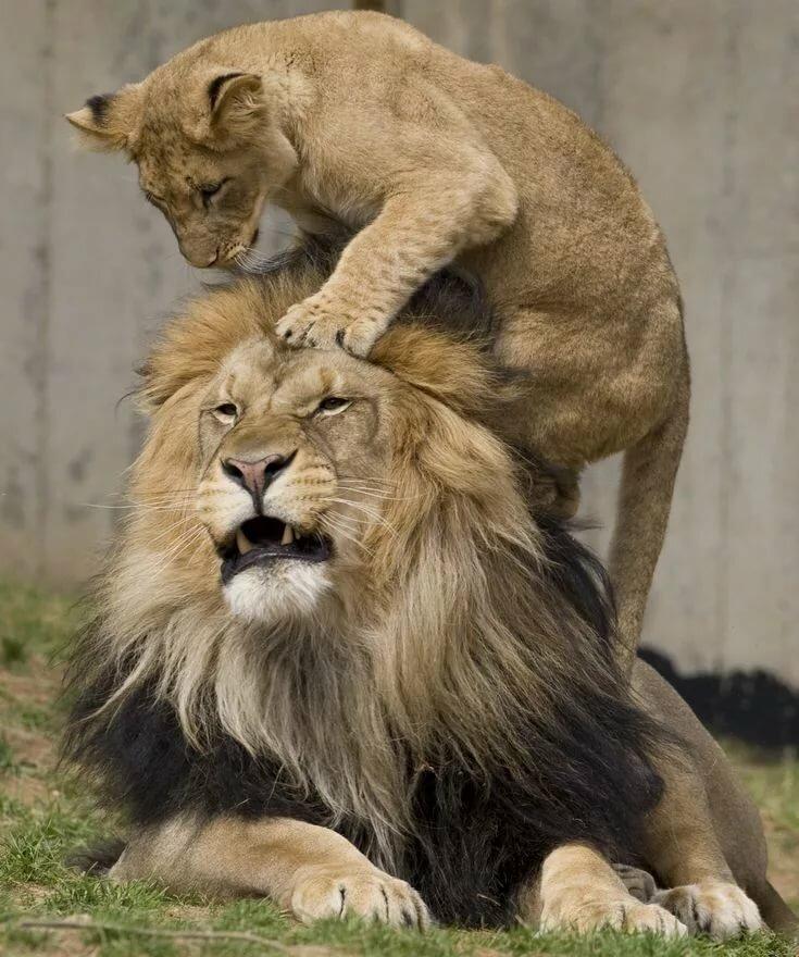 Картинка где львица орет на льва