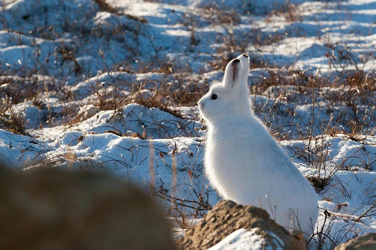 Картинка зайца зимой