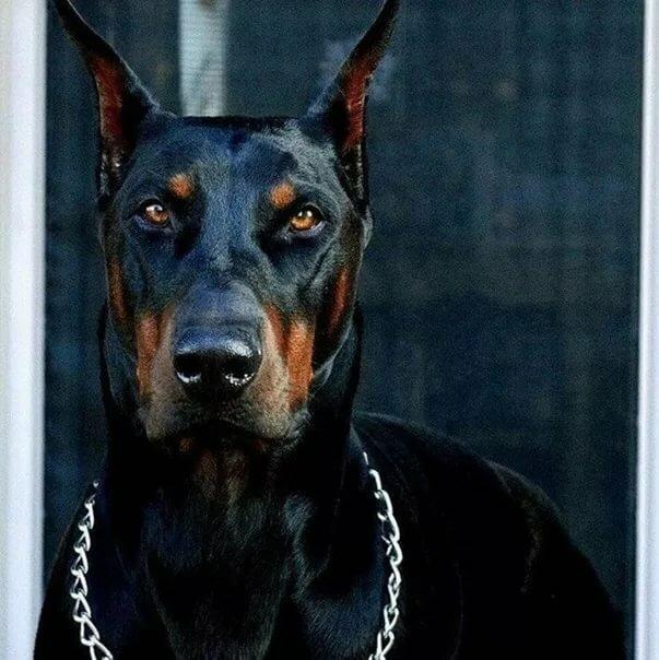 Фото собак злых на аву
