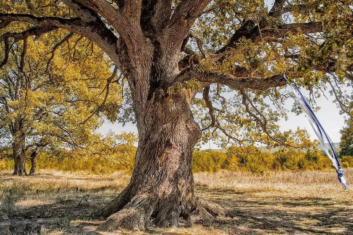 Картинки векового дуба