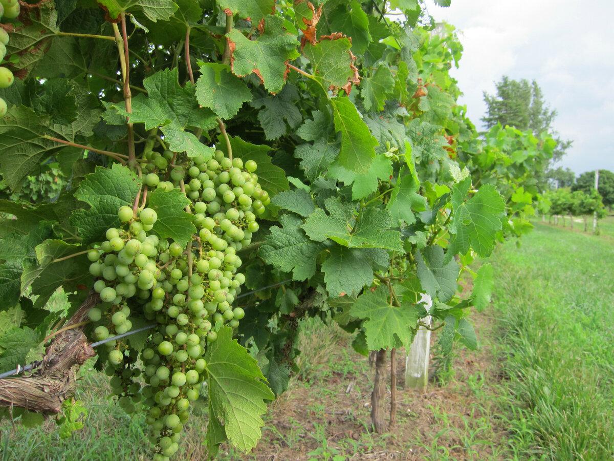 восточный картинки куст винограда контактной печати процессе