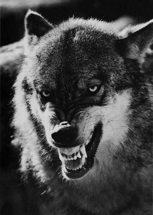 Картинки для телефона оскал волка