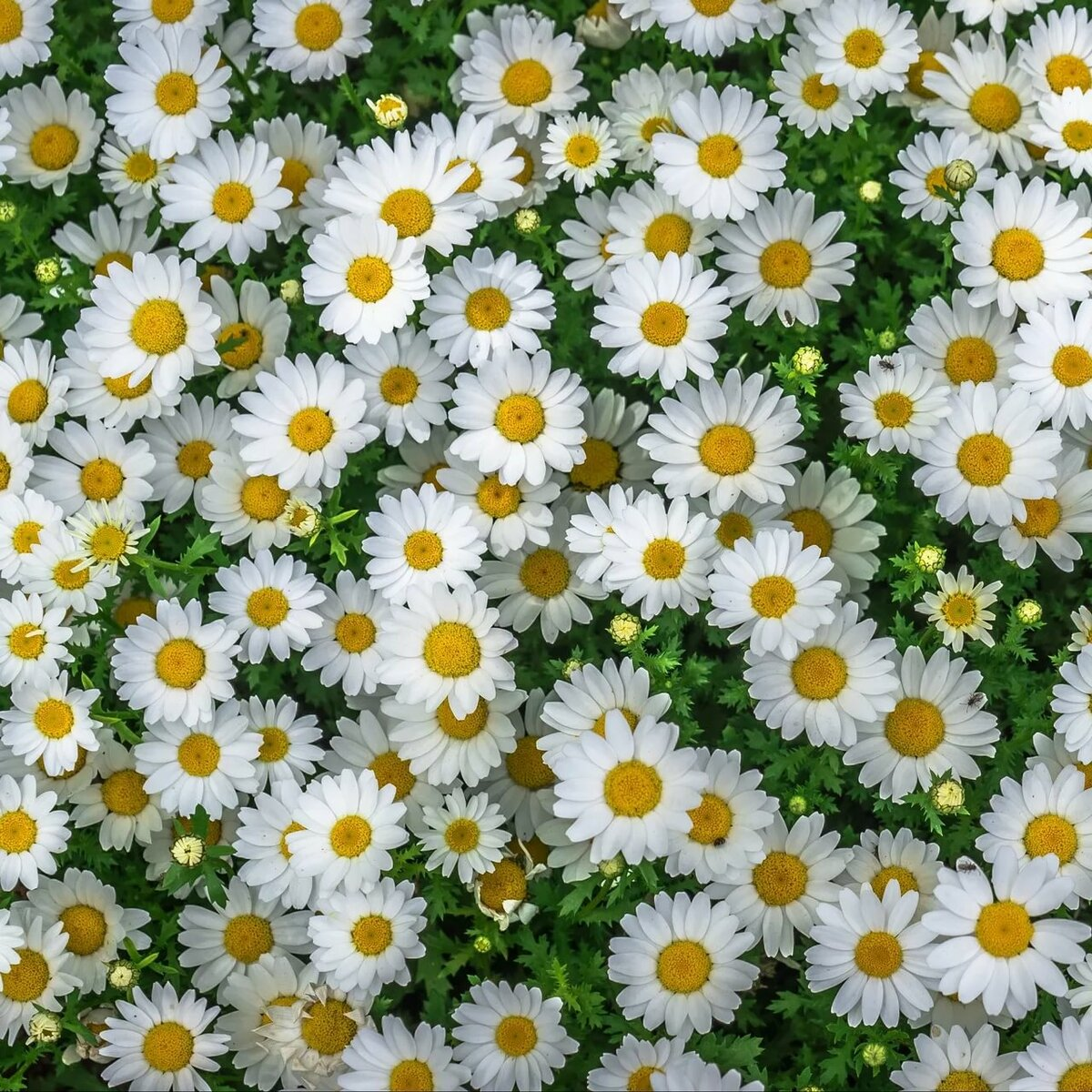 Картинки цветов ромашек