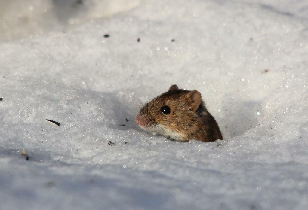 картинки мышей на снегу фото профитроли придутся