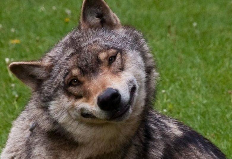 Маша медведь, волк прикол картинка