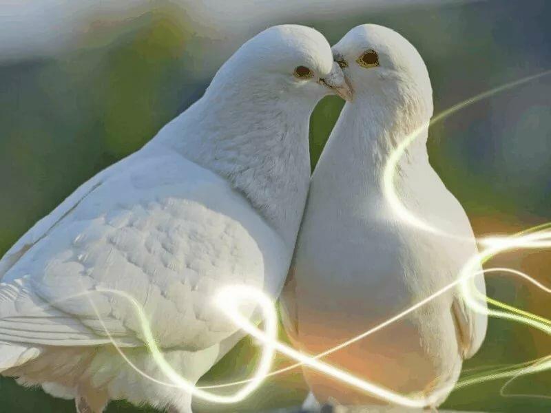 Голуби целующиеся картинки
