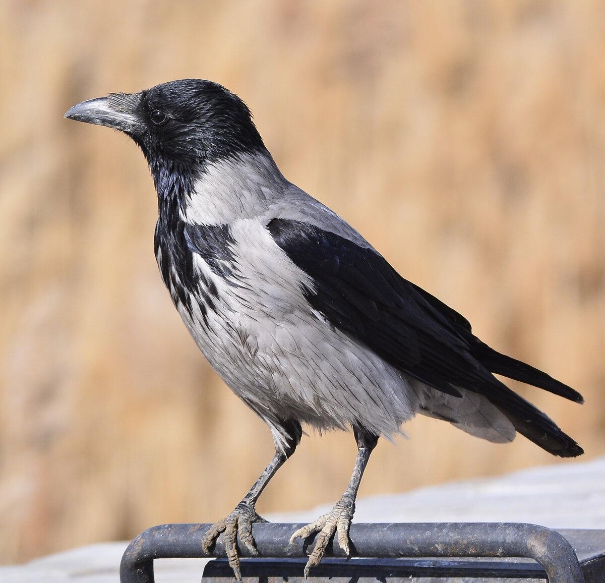 Фото птицы ворона серая себя фотографии